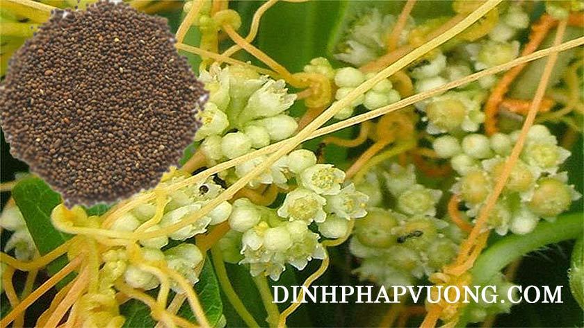 Hình ảnh hạt và cây thỏ ty tử