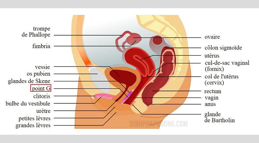 Vị trí điểm G trong giải phẫu