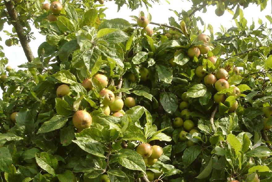 Hình ảnh cây và quả táo mèo