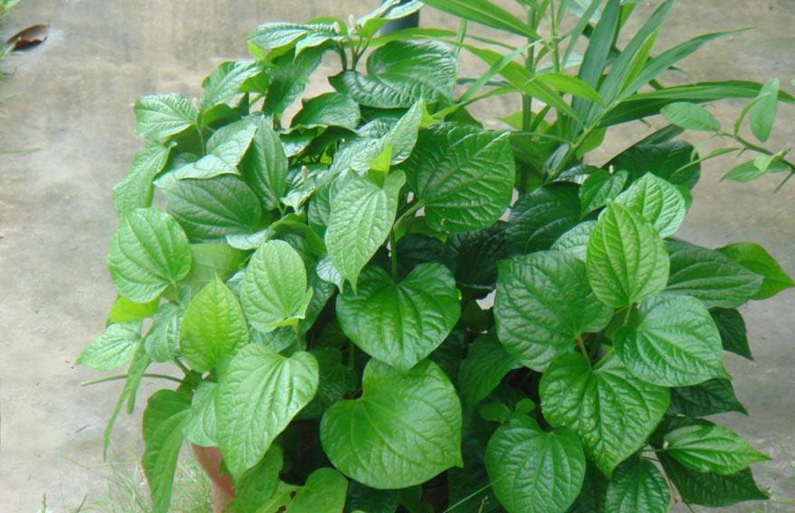 Cây lá lốt thường gặp xung quanh vườn nhà